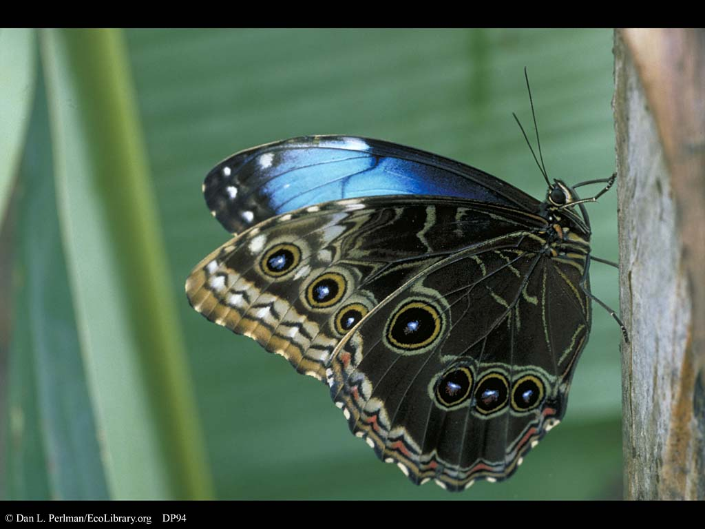 butterfly adult morpho life cycle dp94 tagged interracial nsfw wife