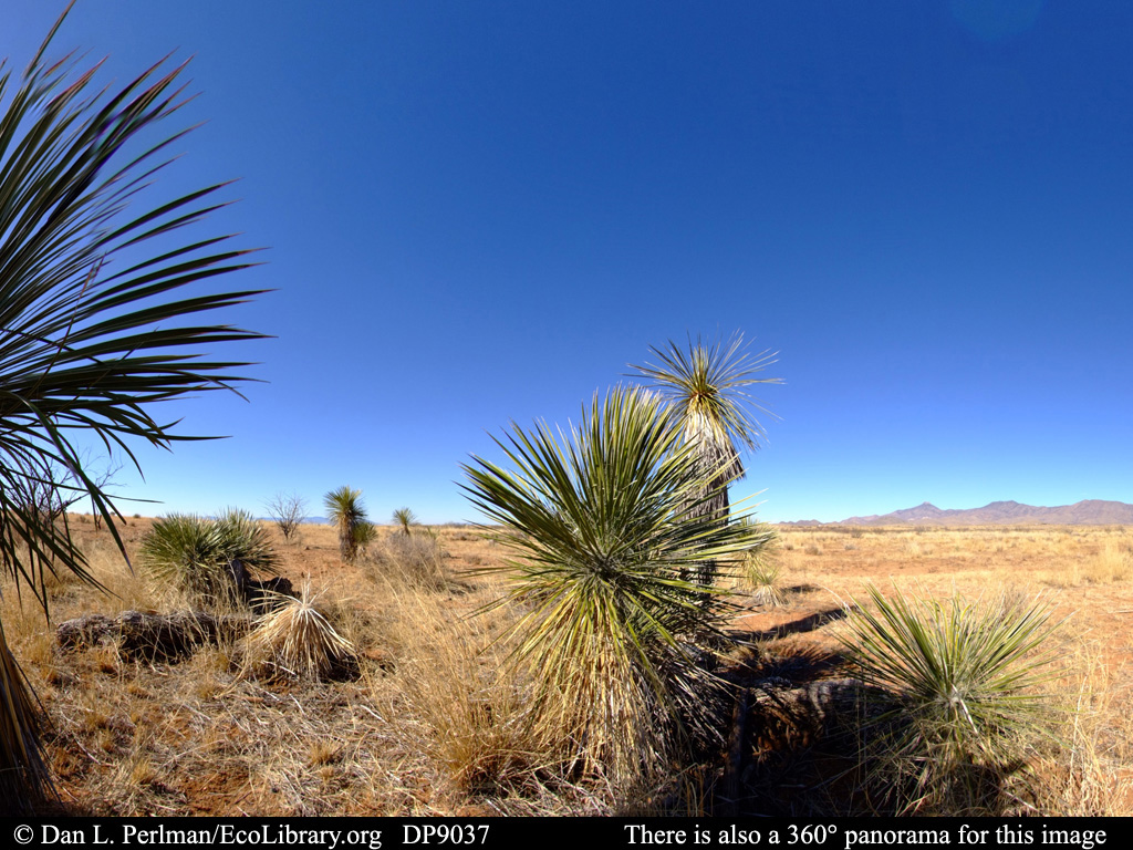 ECOLIBRARY :: DISPLAY - PANORAMA: CHIHUAHUAN DESERT VEGETATION