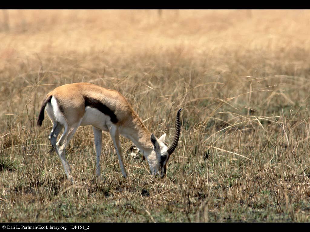 Gazelle Thomson gazelle 001