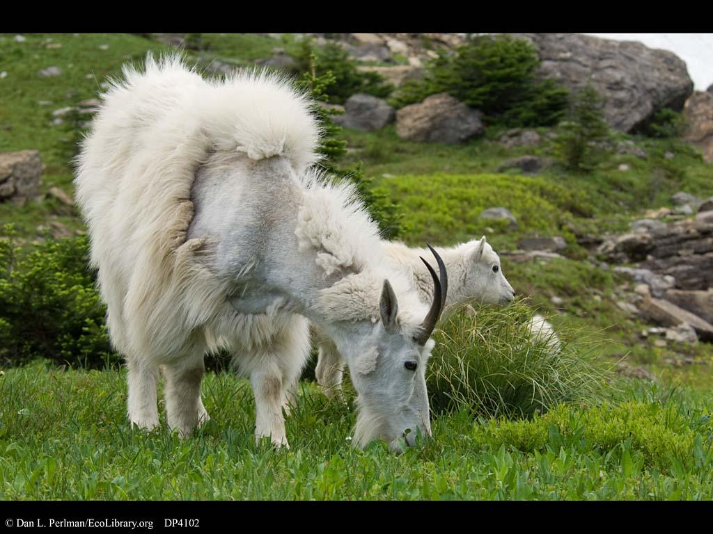 Mountain Lion Adaptations   Nicetravelideas