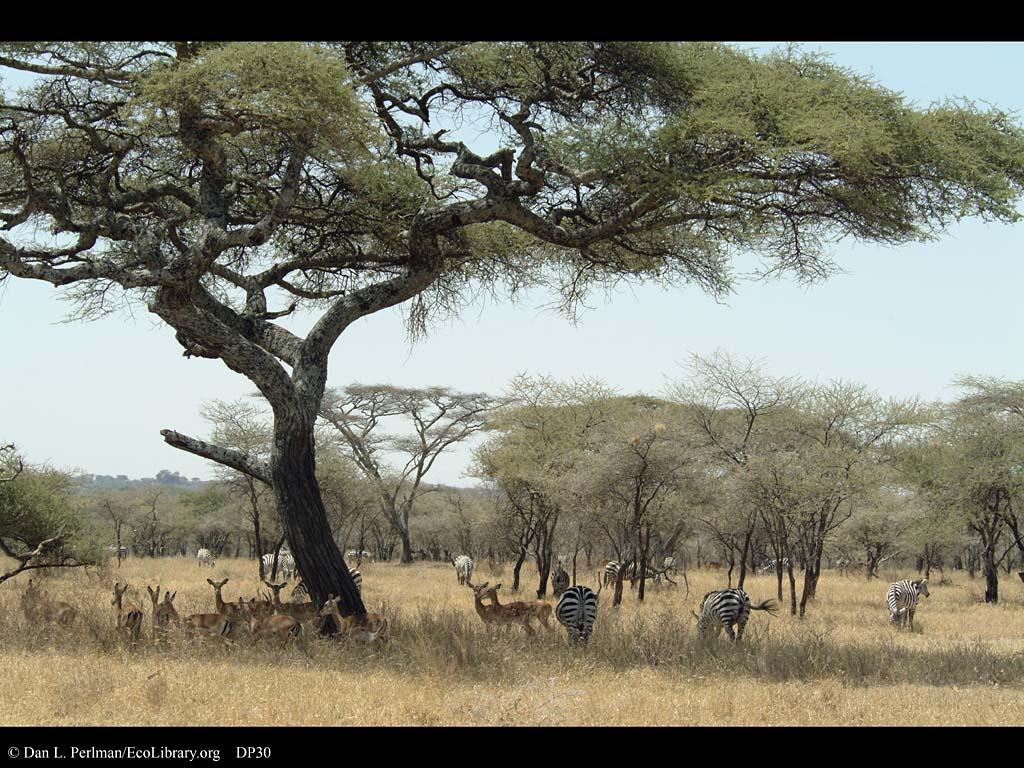 Savanna with zebras and impalas tanzania