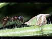 Ant and treehopper