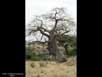 Baobab trees chewed by elephants