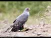 Chanting Goshawk with prey
