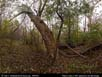Panorama: chestnut forest