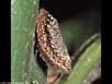 Scale insect female