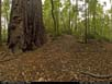 Panorama: redwoods forest