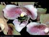 Orchid and orchid bee