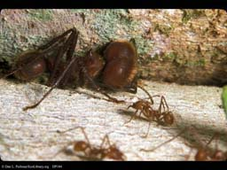 Leaf cutter ant major and minor workers, Costa Rica