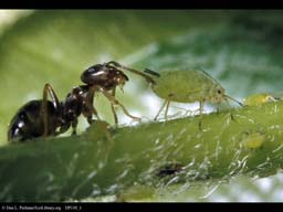 Ant tending an aphid, Massachusetts