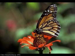 Aposematic coloration: monarch butterfly