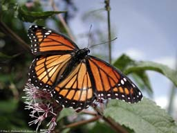 Aposematic coloration: viceroy butterfly