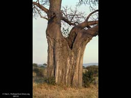 Baobab trunk with elephant damage, Tanzania