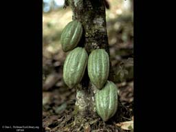 Cacao fruits on tree, Theobroma cacao