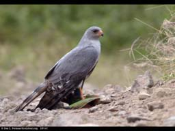 Chanting Goshawk with recent prey, Arusha National Park, Tanzania