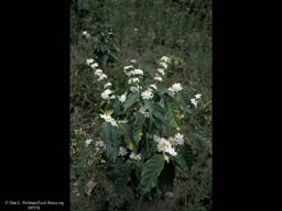Flowering coffee bush, Coffea arabica