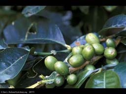 Coffee fruits, Coffea arabica
