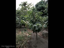 Coffee grown without shade, Coffea arabica