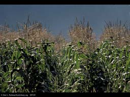 Corn or maize,Zea mays