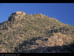 Desert hillside with saguaro cactus, Arizona