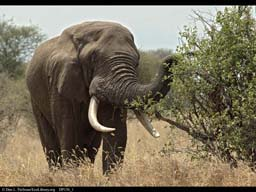 Elephant feeding on shrub, Tanzania
