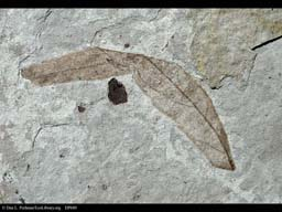 Fossil leaf from late Eocene, Colorado, USA