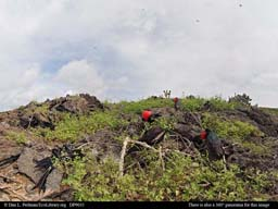 Panorama of frigate bird mating area, Galápagos Islands