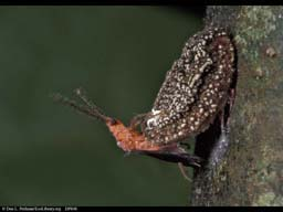 Giant scale insects mating, Costa Rica