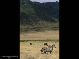 Grassland with Zebra and Wildebeest, Tanzania