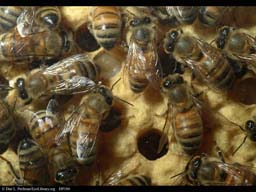 Honeybee nest showing brood cells