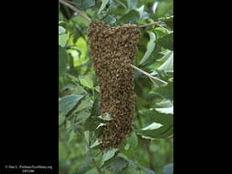 Honeybee swarm, Massachusetts, USA