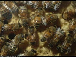 Honeybees in nest, one possibly doing the waggle dance