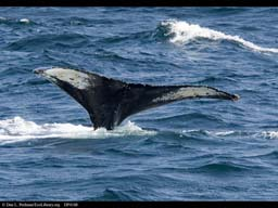 Humpback whale tail flukes identify individuals