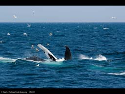 Humpback whale with commensal birds