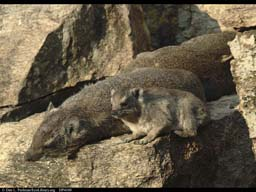Basking hyraxes, Serengeti NP