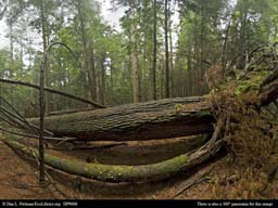 Panorama of Large tree fall in Massachusetts forest