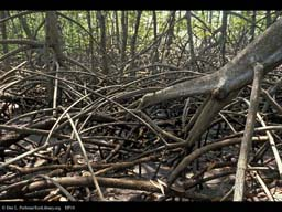 Red Mangrove stilt roots, Rhizophora, Costa Rica