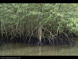 Red Mangroves, Rhizophora, Paranagua Harbor, Brazil