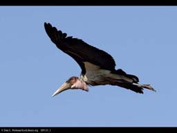 Marabou stork in flight, Tanzania