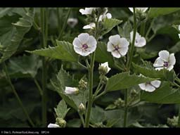 Marsh Mallow, Althaea officinalis