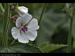 Marsh mallow, Althaea officinalis (close-up)