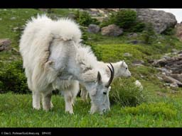 Molting mountain goat, Glacier NP