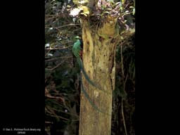 Nesting male Quetzal at nest tree, Costa Rica