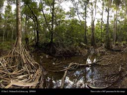 Panorama of Pandanus swamp in Madagascar