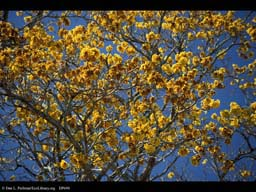 Phenology: simultaneous flowering in Tabebuia, Costa Rica