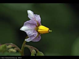 Potato Solanum tuberosum flower (close-up)