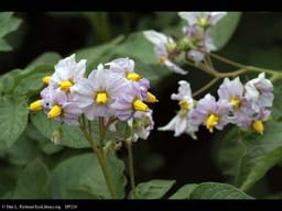 Potato, Solanum tuberosum, in flower