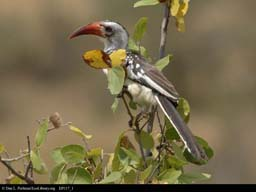 Red-Billed Hornbill, Tanzania