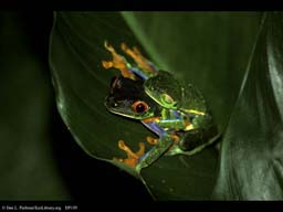 Red-eyed leaf frogs mating, Costa Rica