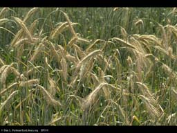 Winter rye, Secale cereale